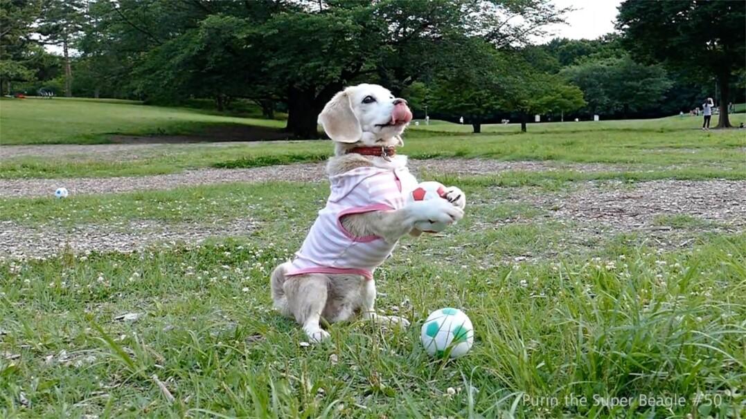 Bramkarz, kaskader. Oto pies o wielu talentach!