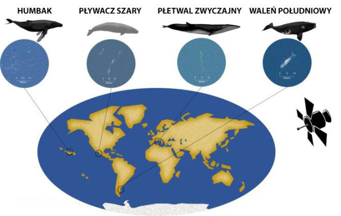 Miejsca obserwacji waleni (Hannah Cubaynes/BAS)