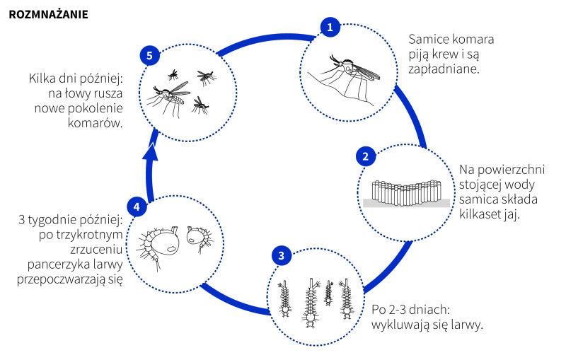 Rozmnażanie komarów (Adam Ziemienowicz, Maria Samczuk/PAP)