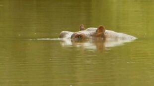 """""""Pojawiają się znikąd"""". Hipopotamy z hacjendy Escobara są dużym zagrożeniem"""