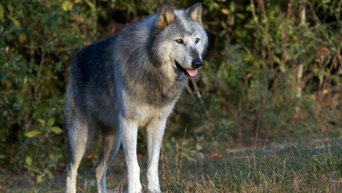 Amerykańskie wilki tracą ochronę. Można strzelać