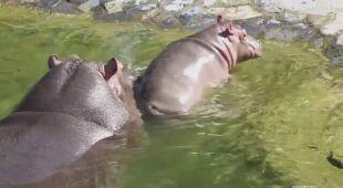 Pierwsza kąpiel małego hipopotama z belgijskiego zoo